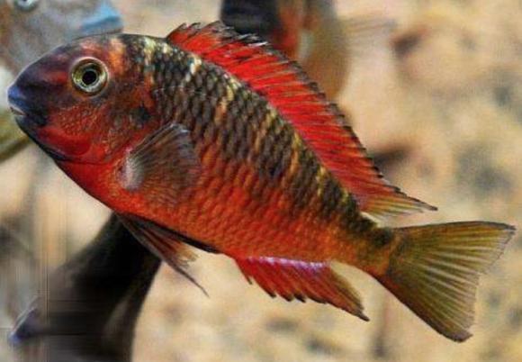 Tropheus Red Chimba