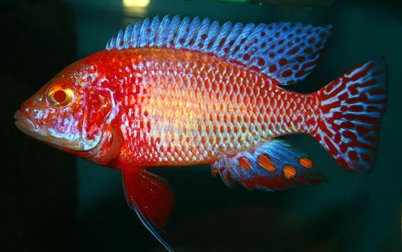 Albino Firefish